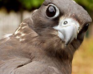 falcon-647075_960_720